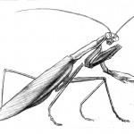 Mantis Crawls